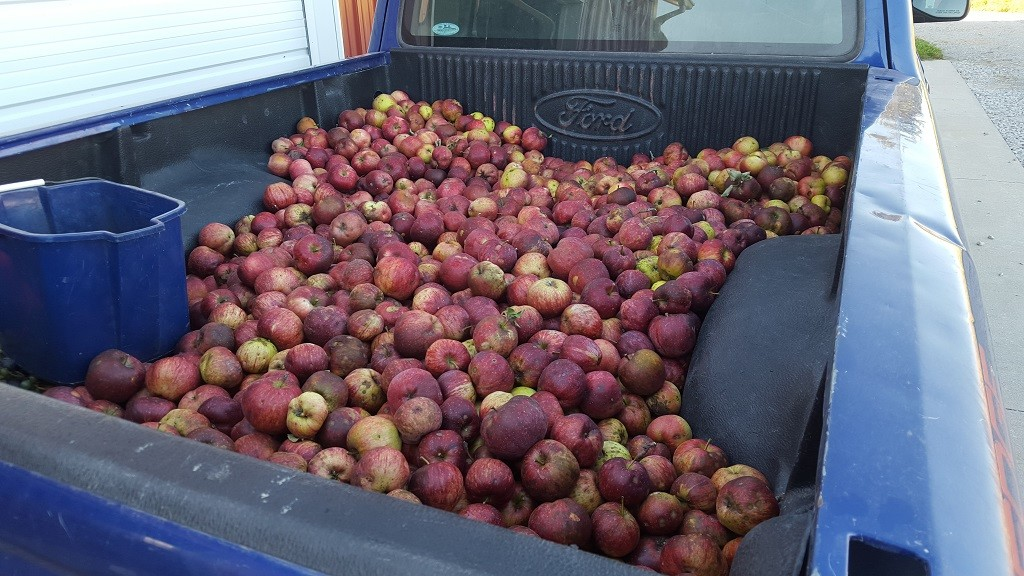 Pickup load o' apples