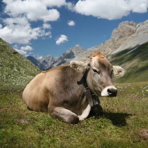 https://commons.wikimedia.org/wiki/File:CH_cow_2_cropped.jpg
